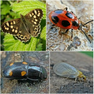 Clockwise from top left: Speckled Wood Butterfly, False Ladybird, Lacewing, Hairy Fungus Beetle