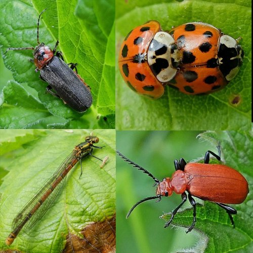 Clockwise from top left: Soldier Beetle, Cantharis rustica; Harlequin Ladybirds, Harmonia axyridis; Cardinal Beetle, Pyrochroa serraticornis; Large Red Damselfly, Pyrrhosoma nymphula