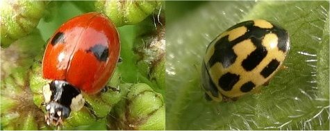 Left: 2-spot Ladybird; right: 14-spot Ladybird