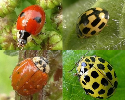 Clockwise from top left: 2-spot, 14-spot, 22-spot, 10-spot