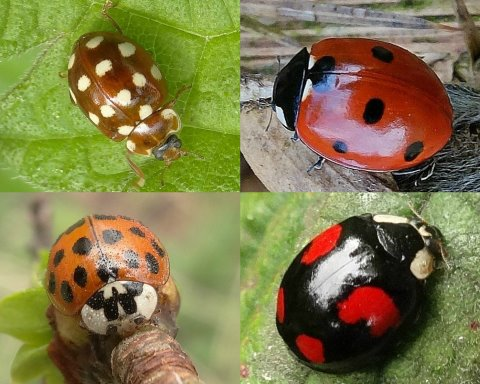 Clockwise from top left: Cream-spot, 7-spot, Harlequin, Harlequin