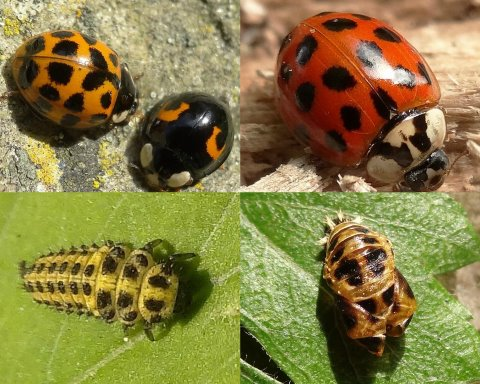 Clockwise from top left: Harlequin, Harlequin, Harlequin pupa, 22-spot larva