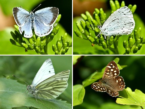 Clockwise from top left: Holly Blue, upper wing, Holly Blue, under wing, Speckled Wood; Green-veined Whits