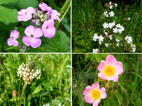 Clockwise from top left: Dame's Violet, White Campion, Dog Rose, Ribwort Plantain