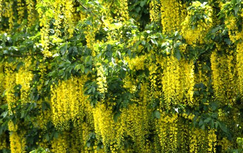 Laburnum in full flower along the Tang Hall Beck path