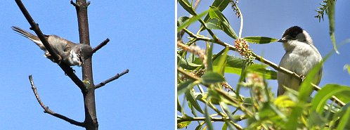 Left: Whitethroat; right: Blackcap