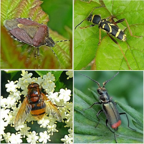 Clockwise from top left: Hairy (Sloe) Shieldbug;  Wasp Beetle;  Malachite Beetle;  Hoverfly - Volucella zonaria
