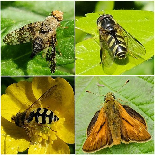 Clockwise from top left:  Mugwort Gall Fly;  Hoverfly: Dasysyrphus albostriatus;  Large Skipper Butterfly;  Hoverfly: Eupeodes luniger