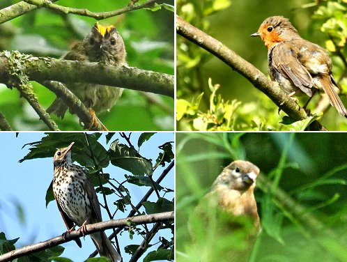 Clockwise from top left: Goldcrest, Robin, juvenile Bullfinch, Song Thrush