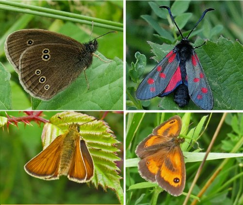 Clockwise from top left: Ringlet, Six-spotted Burnet Moth, Gatekeeper, Small Skipper