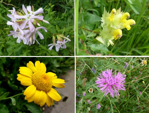 Clockwise from top left: Soapwort, Yellow Rattle, Knapweed, Corn Marigold