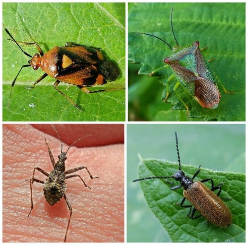 Clockwise from top left: Mirid Bug Deraeocoris ruber,  Hawthorn Shieldbug,