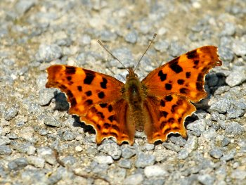 Comma butterfly near the Dragon Stones