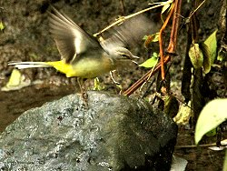 Dancing Grey Wagtail!
