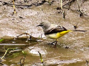 Grey Wagtail on Osbaldwick Beck