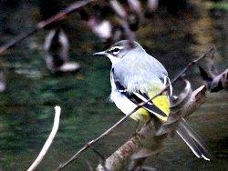 Tree-perching Grey Wagtail