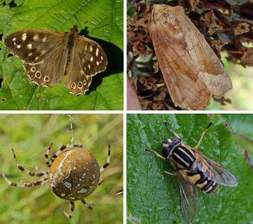 Clockwise from top left: Speckled Wood Butterfly,  Rosy Rustic Moth,  Helophilus pendulus Hoverfly,