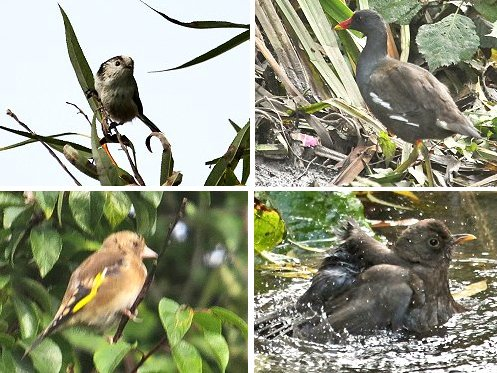 Clockwise from top left: Long-tailed Tit; Moorhen; Blackbird bathing; Juvenile Goldfinch