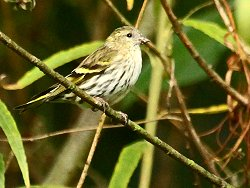 Female Siskin, Osbaldwick Beck
