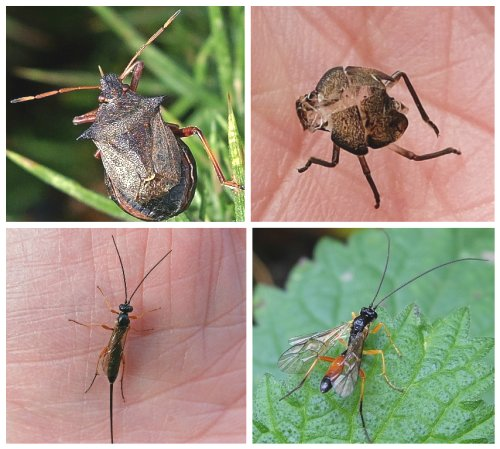 Clockwise from top left: Spiked Shieldbug;  Shed skin of Green Shieldbug;  Ichneumon wasp male;  Ichneumon wasp female