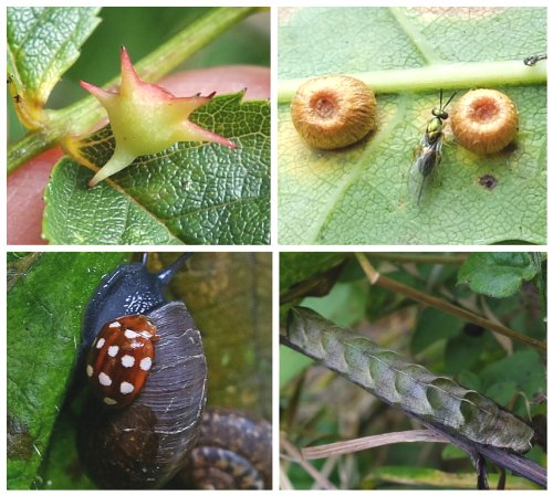 Clockwise from top left: Spiked Pea Gall – 'Sputnik';  Silk Button Gall and parasitic wasp;  Dot Moth caterpillar;  Cream-Spot Ladybird