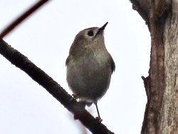Goldcrest near the Story Telling Circles