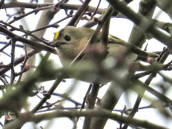 Goldcrest along the Cycle Track