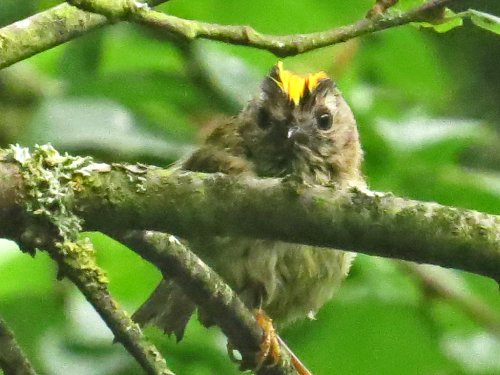 Goldcrest - after bathing in Tang Hall Beck