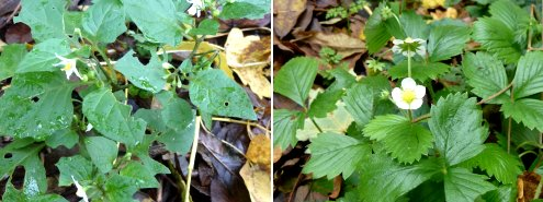 Left: Black Nightshade; right: Strawberry sp.