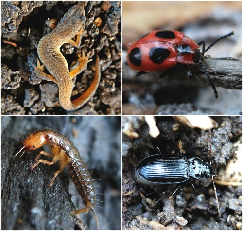 Clockwise from top left: Hibernating Newt,  Handsome Fungus Beetle, Ground Beetle, Beetle Larva