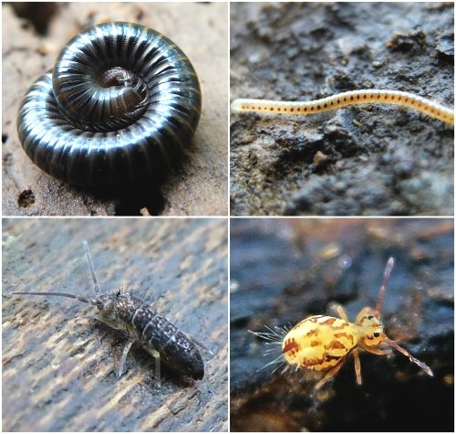 Clockwise from top left: White-legged Snake Millipede, Red-Spotted Snake Millipede, Springtail Dicyrtomina saundersi, Springtail, Tomoceris sp.