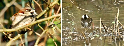 Left: House Sparrow. Right: Moorhen
