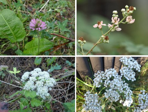 Flowering in December.. clockwise from top left: Red Clover; Bramble; Yarrow; Hogweed