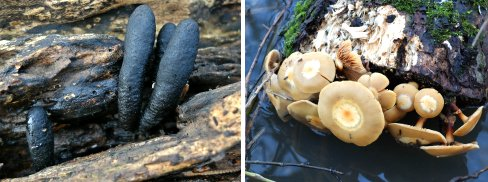Left: Xylaria species (possibly Dead Man's Fingers). Right: Either edible or highly poisonous!