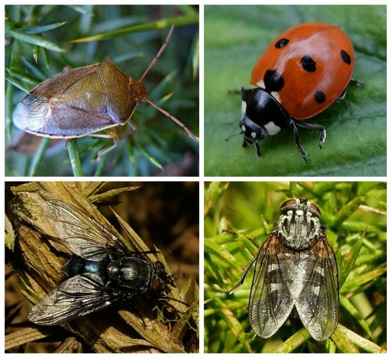 Clockwise from top left: Gorse Shieldbug; 7-spot Ladybird; Flesh Fly; Bluebottle
