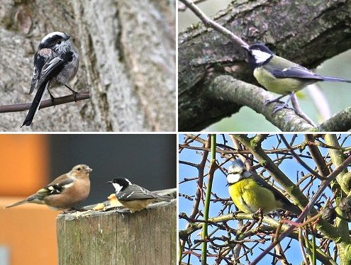Clockwise from top left: Long-tailed tit, Great Tit, Blue Tit, Chaffinch & Coal Tit