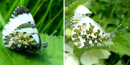 Left: female Orange Tip butterfly; right: the underwing of both sexes
