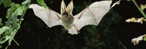 Bat (photo by Eco Sapien)
