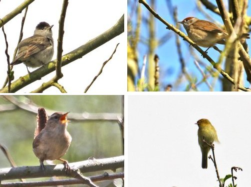 Clockwise from top left: Blackcap (male); Blackcap (female); Chiffchaff; Wren