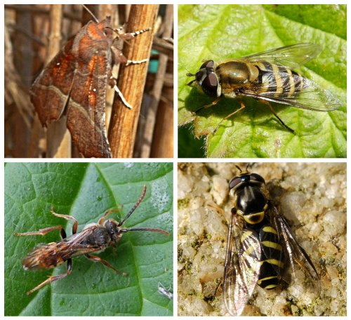 Clockwise from top left: Herald Moth;  Hoverfly Syrphus ribesii;  Hoverfly Dasysyrphus albostriatus; Nomad Bee