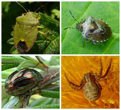 Clockwise from top left: Green Shieldbug;  Woundwort Shieldbug;  Crab Spider;  Rosemary Beetle