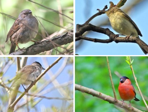 Clockwise from top left: Dunnock; Chiffchaff; Bullfinch (male); Blackcap (male)