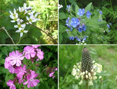 Clockwise from top left: Cuckoo Flower; Green Alkanet; Ribwort Plantain; Red Campion