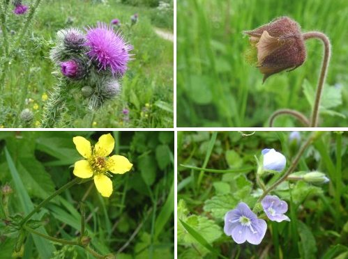 Clockwise from top left: Welted Thistle; Water Aven; Speedwell sp.; Wood Aven.