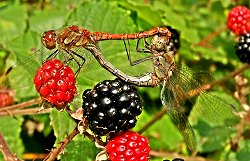 Common Darters mating