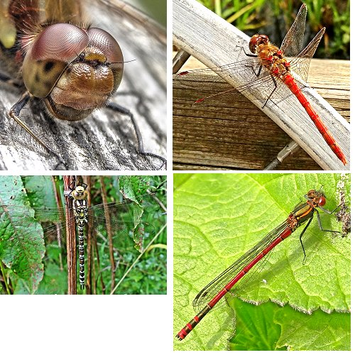 Clockwise from top left: Common Darter (head); Common Darter (male); Large Red Damselfly; Southern Hawker