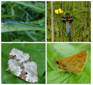 Azure Damselfly;  Broad-bodied Chaser Dragonfly; Large Skipper Butterfly; Silver-ground Carpet Moth