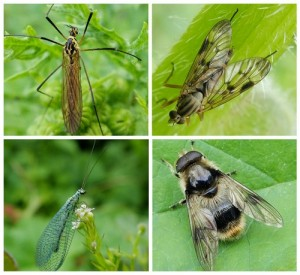 Crane Fly Nephrotoma flavescens; Downlooker Snipe Fly; Hoverfly Leucozona lucorum;  Lacewing Chrysopa perla