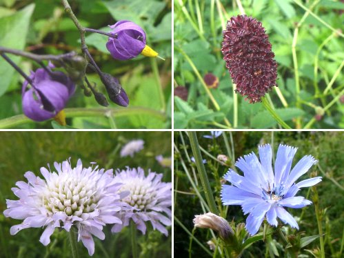 Clockwise from top left: Woody Nightshade; Great Burnet; Chicory; Field Scabious