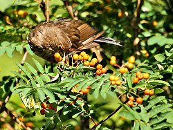 Blackbird (female) feeding on Rowan berries